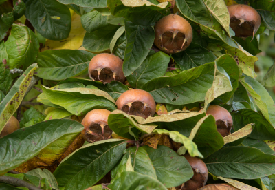 Medlar fruit